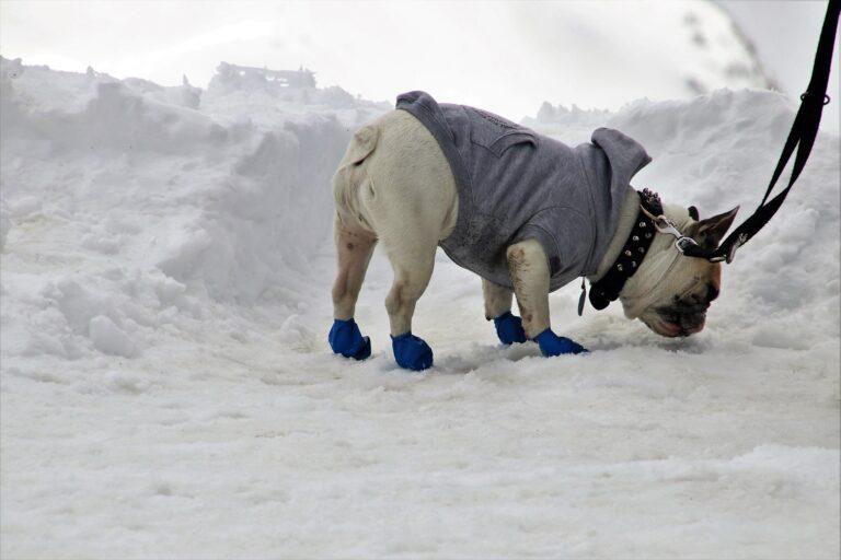 cane vestito annusa neve