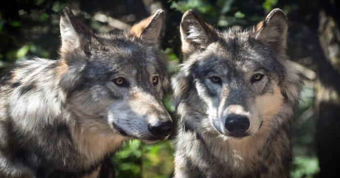 I cani adulti riconosco la madre o se la dimenticano?