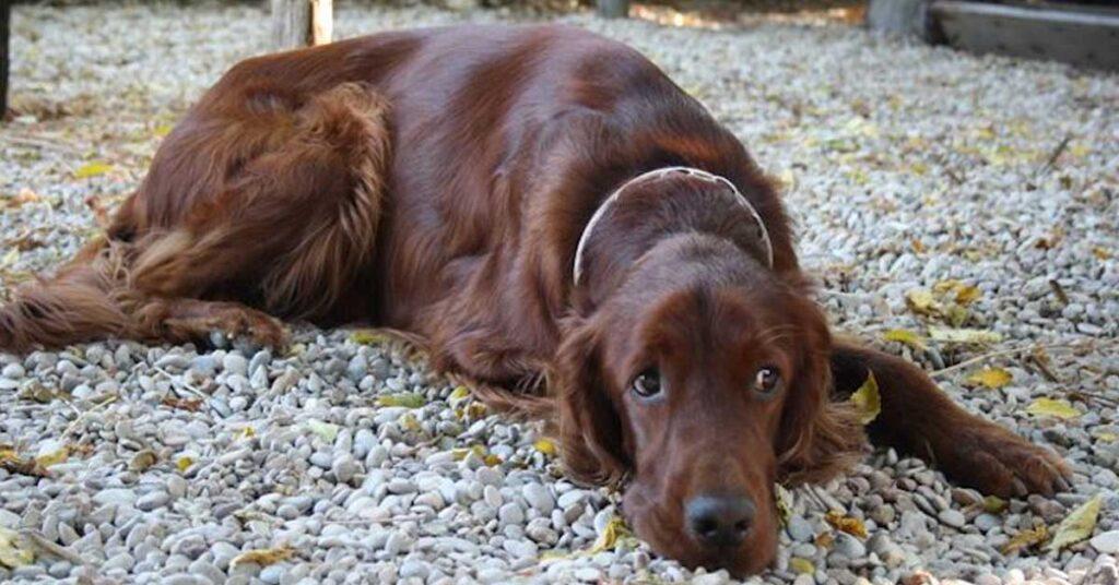 Firenze: cane anziano e malato dorme in auto