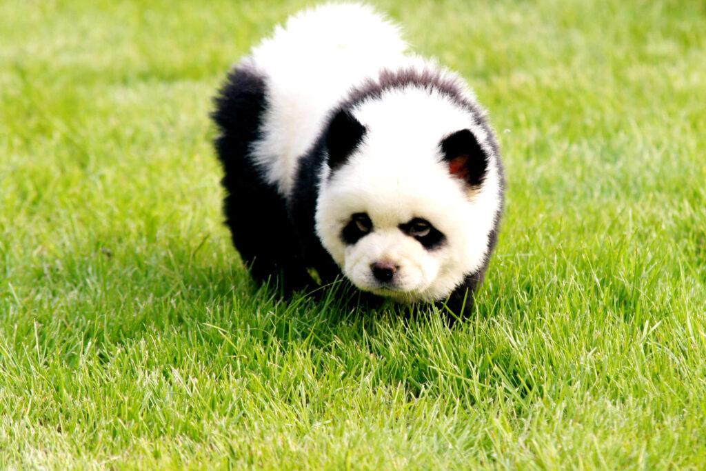 Cane che sembra un Panda