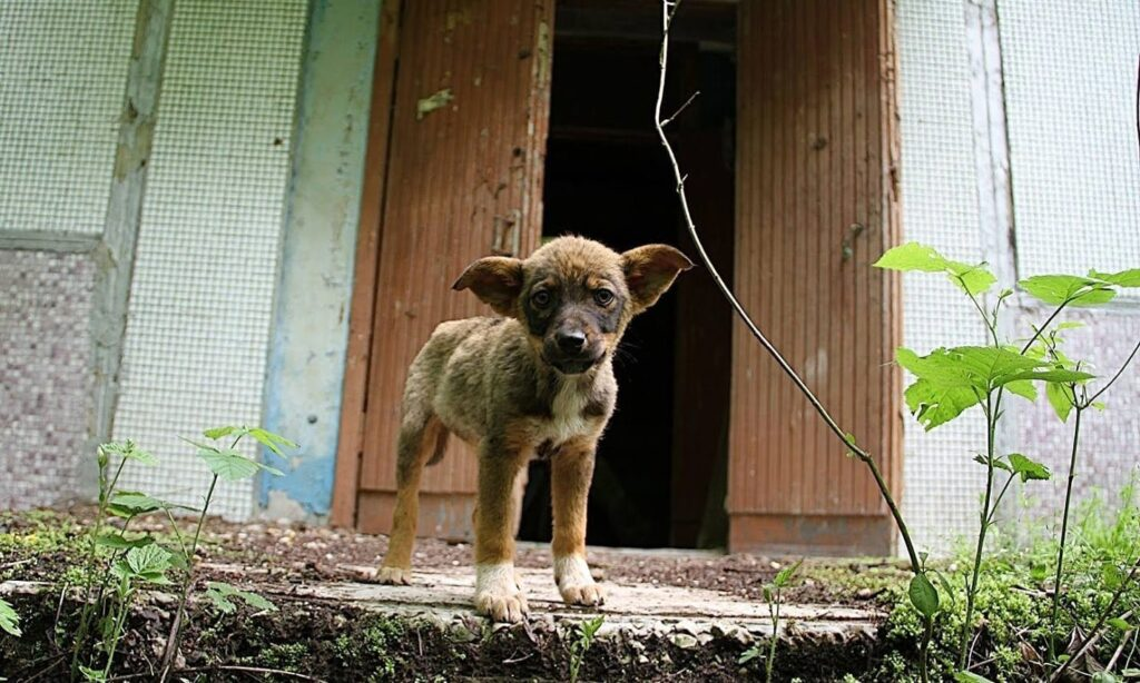 Cane di chernobyl