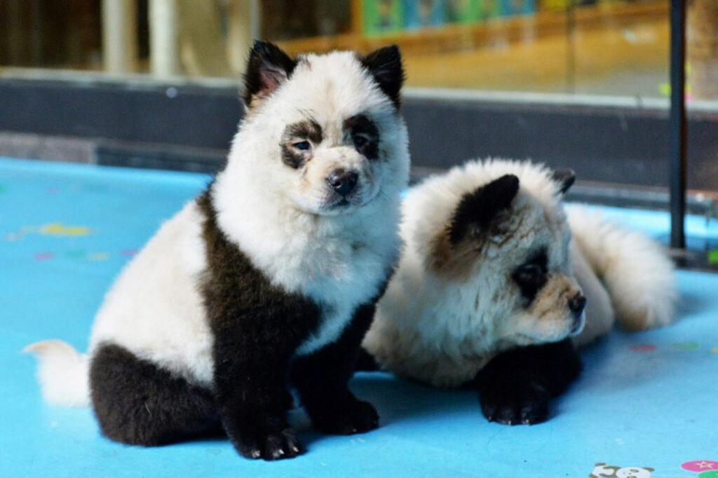 Cani del Panda cafè