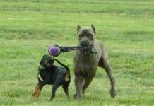 il gioco tra cani è sano