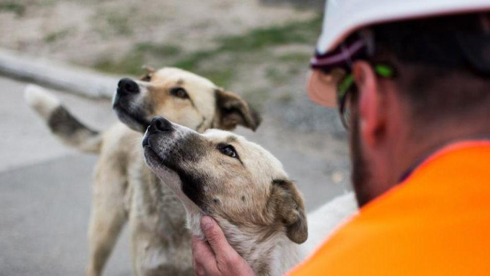 Due-cani-di-chernobyl