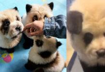 I cani del Panda Cafè in Cina