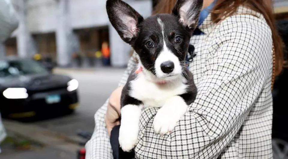 Dream Corgi, il cane che ha realizzato il sogno di un bambino malato