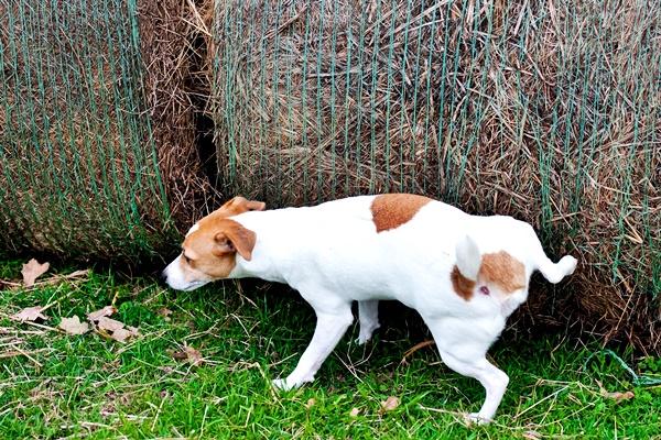 piccolo cane che fa la pipì