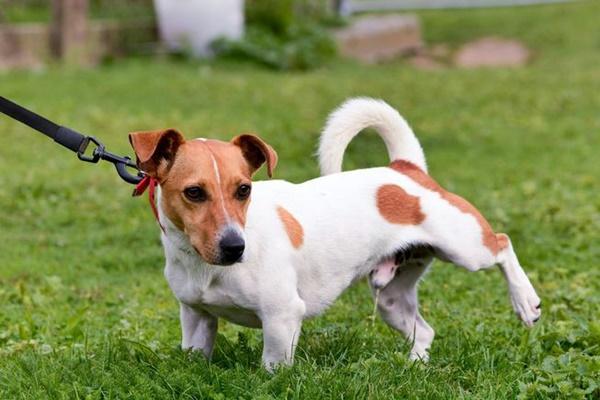 cane che fa pipì in giardino