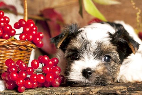 cane con i mirtilli rossi