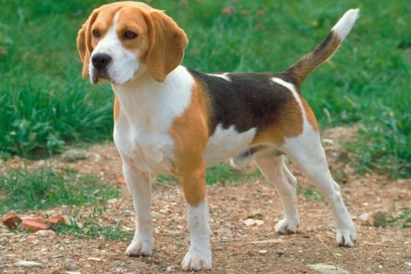 Astenia cutanea del cane: sintomi, cause e diagnosi