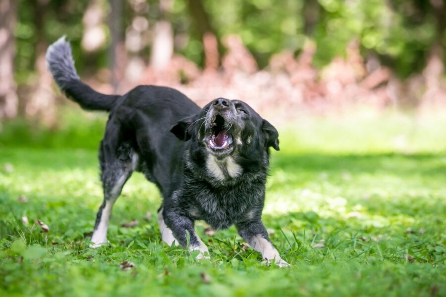 cane pronto ad aggredire