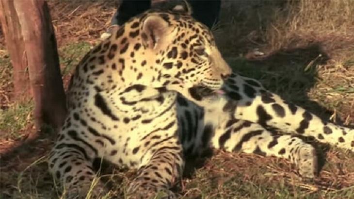 bullet-giaguaro