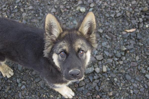 cane pastore tedesco nano