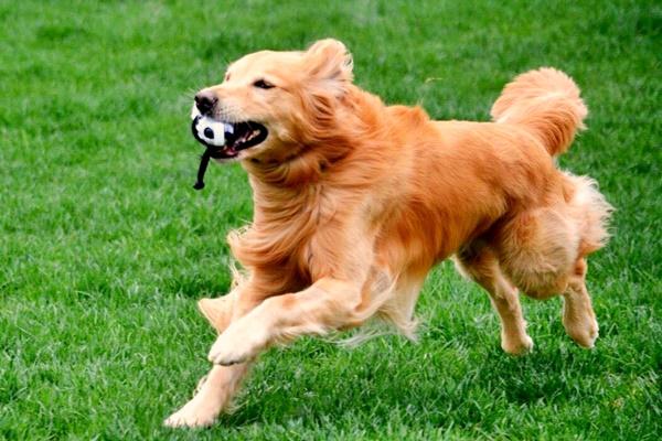 golden retriever che corre