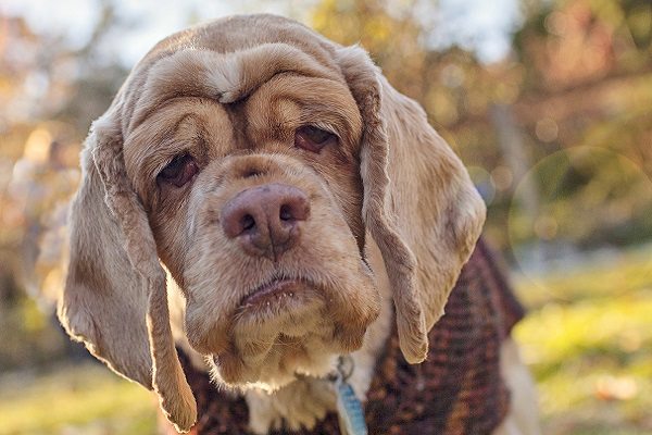 cane con le rughe