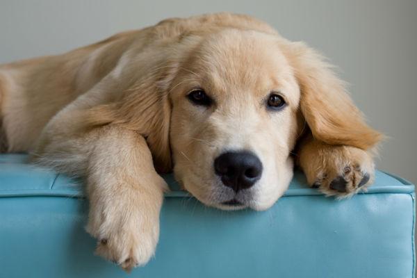 Razze di cani che amano gli altri cani: i più affabili