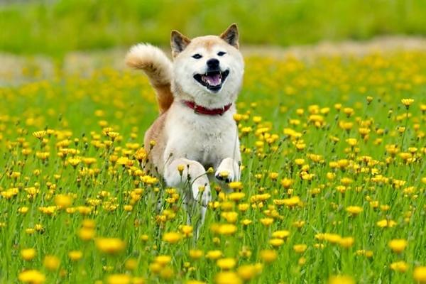cane di razza shiba inu