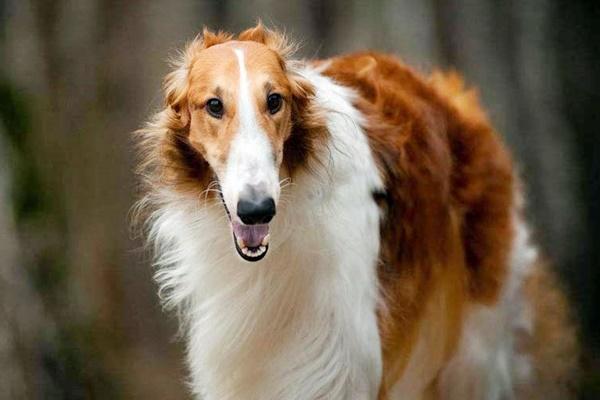 cane di razza borzoi