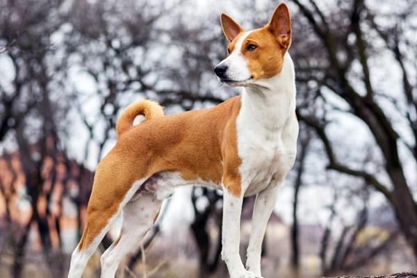 cane di razza basenji
