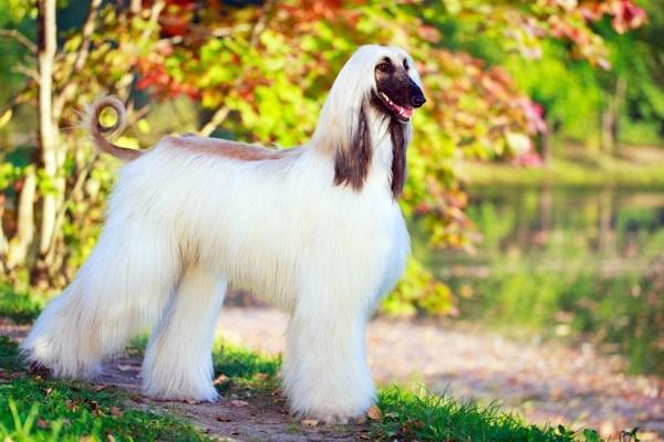 cane di razza levriero afgano