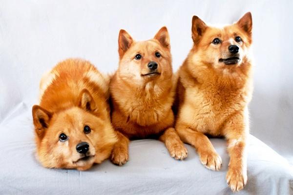 cani di razza spitz finnico