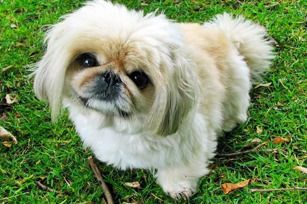 cane di razza pechinese