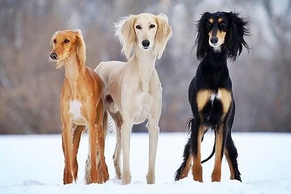 cani di razza levriero persiano