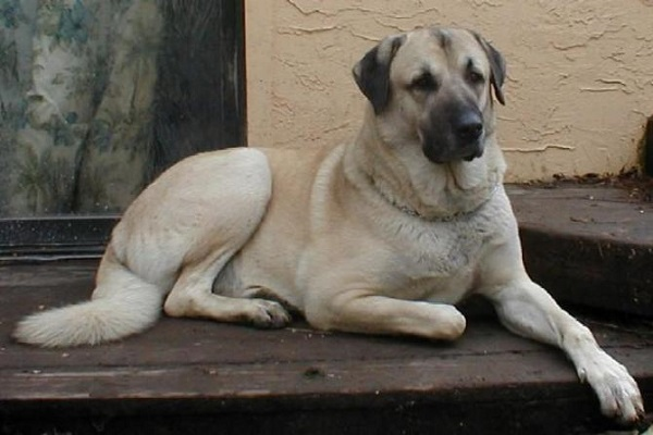 cane pastore anatolico