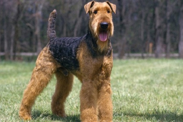 cane airedale terrier