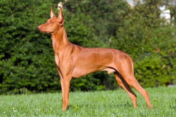 cane forte e resistente