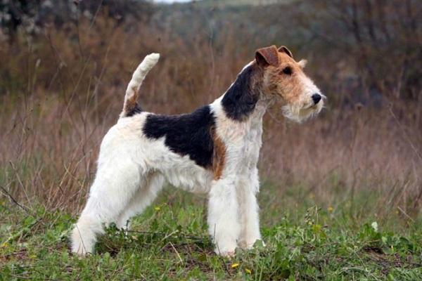 cane fox terrier