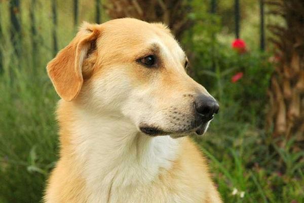 cane chinook