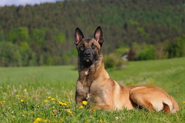cane pastore belga
