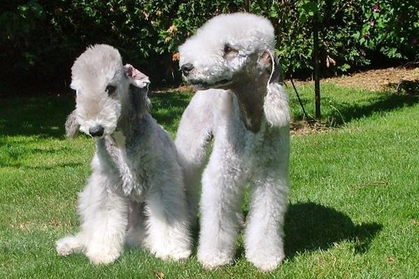 cane Bedlington Terrier