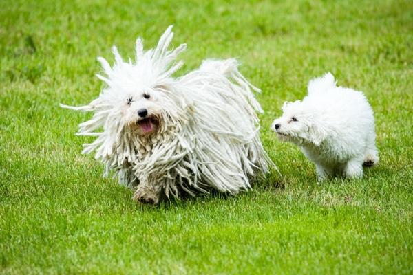 cane di razza Puli