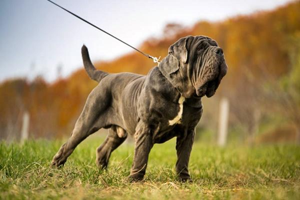 cane mastino napoletano