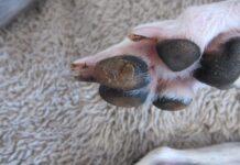 calli nei cuscinetti delle zampe del cane