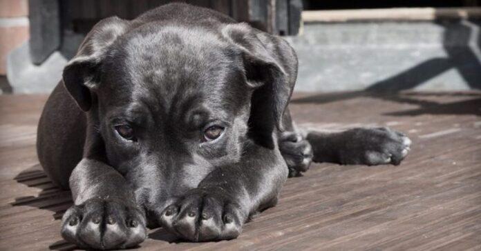 cani possono fingere di avere paura