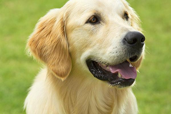 Cani e olio di fegato di merluzzo: quando e perché darglielo?