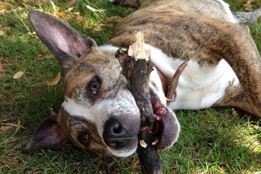 cane che gioca col legno