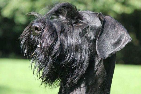 Razze di cani protettivi: i più attenti alle necessità del padrone