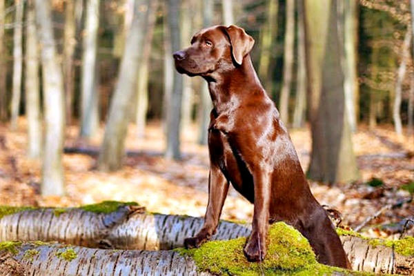 cane col pelo marrone e lucido