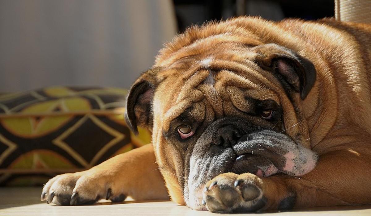 Cerenia per cani: tutto quello che bisogna sapere su questa medicina