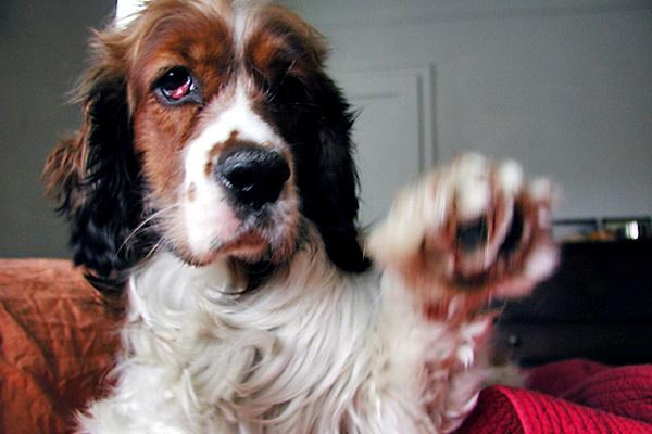 beagle con occhio a ciliegia