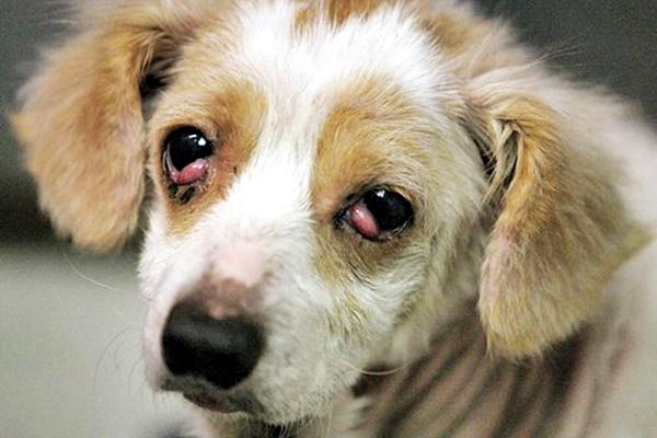 cucciolo con gli occhi infiammati
