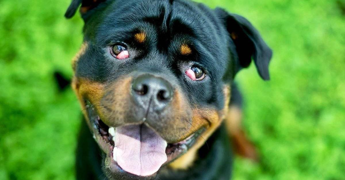 cane nero con gli occhi infiammati