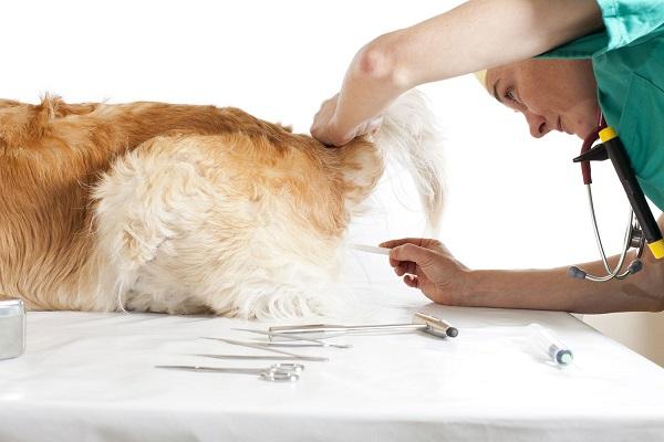 Coccidiodomicosi del cane: cause, sintomi, trattamento