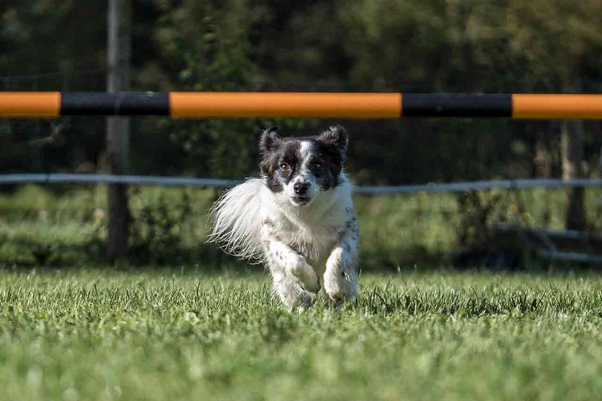 cane che sta per saltare