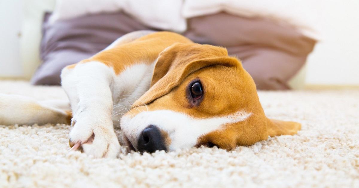 cani vomitano per lo stress