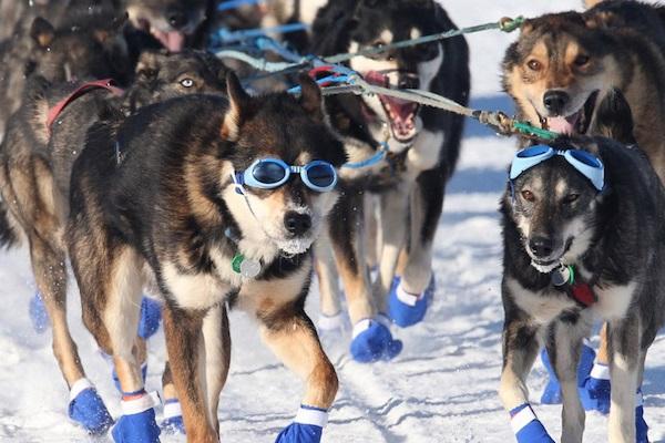 cani da slitta con scarpe e occhiali